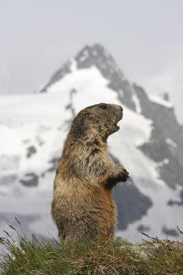 Alpenmurmeltier,Marmota,Marmot 0043
