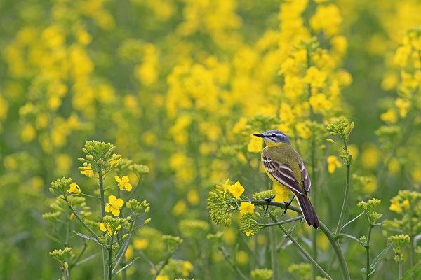 Schafstelze,Western Yellow Wagtail,Motacilla flara 0003