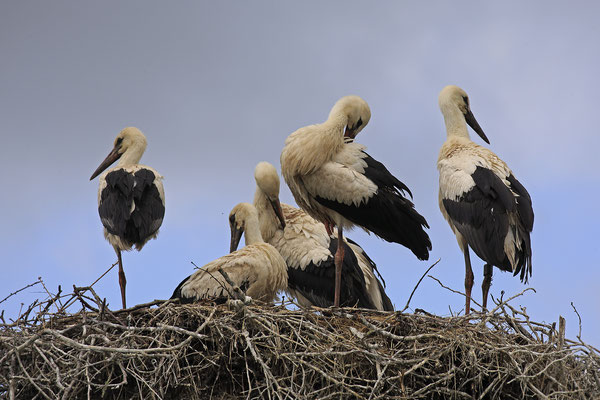 Weissstorch,White Stork,Ciconia ciconia 0115
