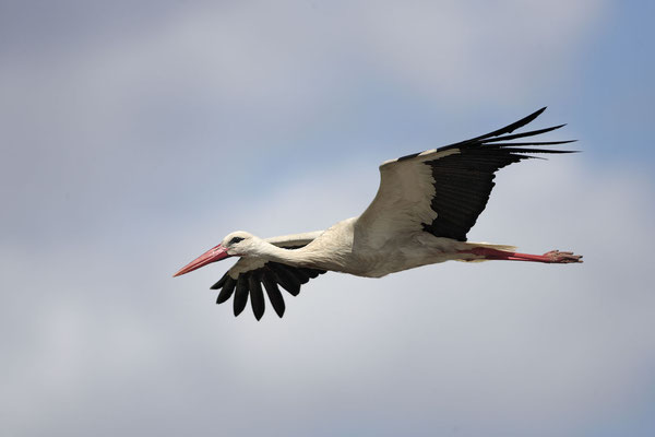 Weissstorch,White Stork,Ciconia ciconia 0010