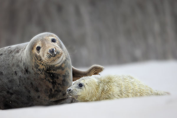 Kegelrobbe,Grey Seal,Halichoerus grypus 0164