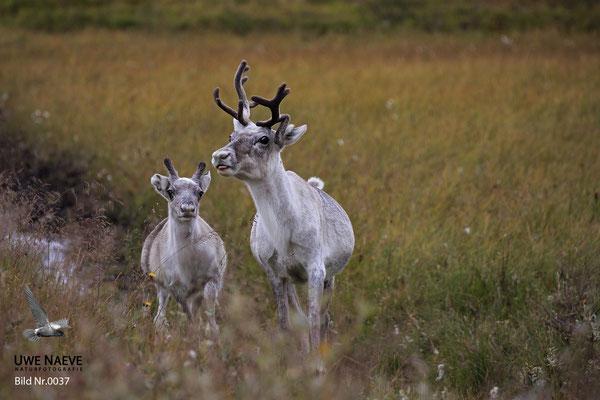 Ren Rentier Rangifer tarandus Reindeer 0037