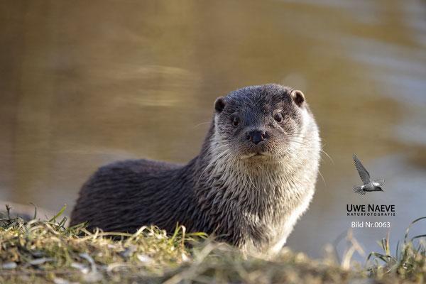 Fischotter,Otter,Lutra lutra 0063