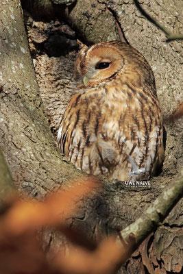 Waldkauz,Strix aluco,Tawny Owl 0036