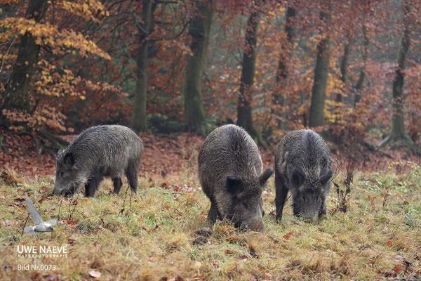 Wildschweinbache,Wild Boar sow,Sus scrofa 0073