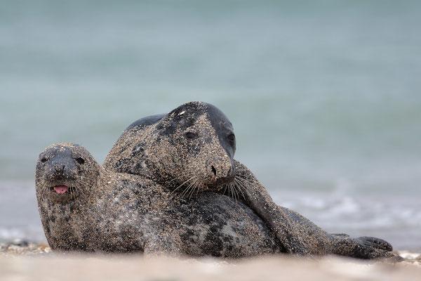 Kegelrobbe,Grey Seal,Halichoerus grypus 0002