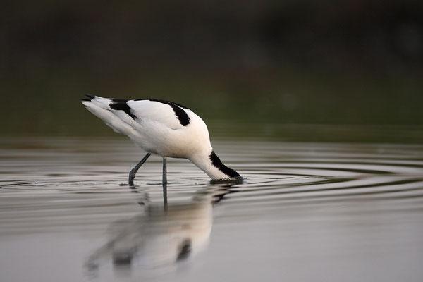 Säbelschnäbler,Recurvirostra avosetta,Avocet 12