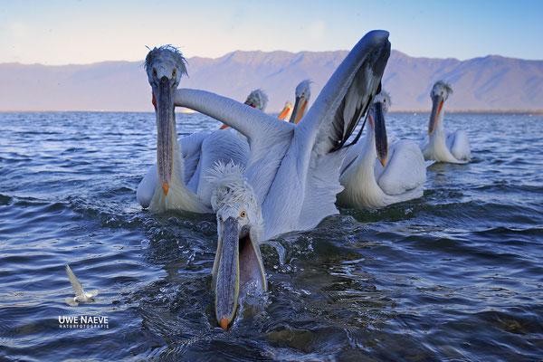 Krauskopfpelikan,Dalmatien pelican,pelecanus crispus 0073
