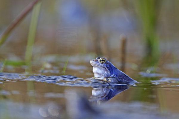 Moorfrosch rana arvalis moor frog 0011