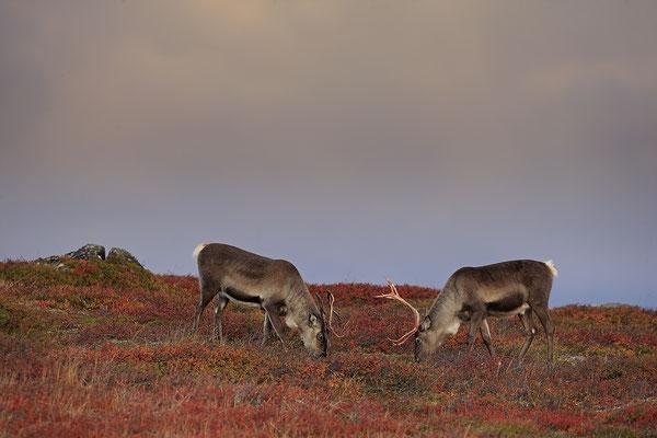 Ren Rentier Rangifer tarandus Reindeer 0123