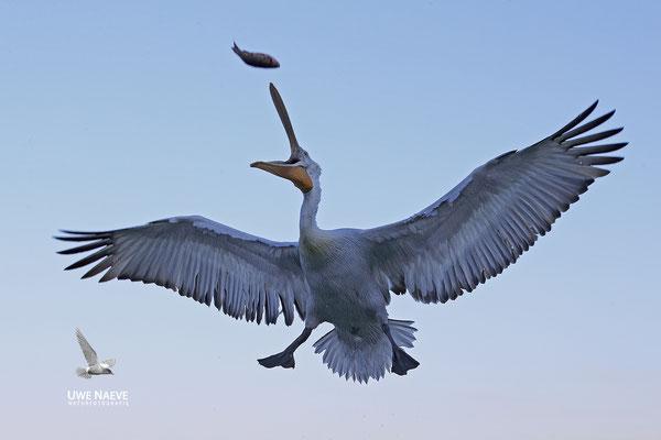 Krauskopfpelikan,Dalmatien pelican,pelecanus crispus 0061