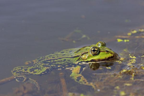 Teichfrosch Wasserfrosch Pelophylax Rana esculenta Edible Frog 0005