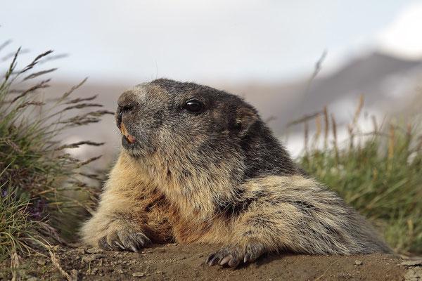 Alpenmurmeltier,Marmota,Marmot 0055