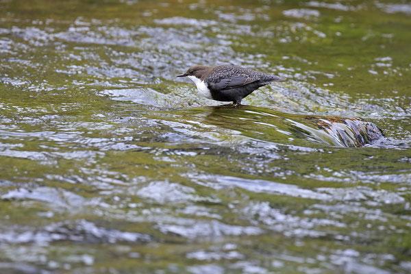 Wasseramsel,Cinclus cinclus,Water-blackbird 0011