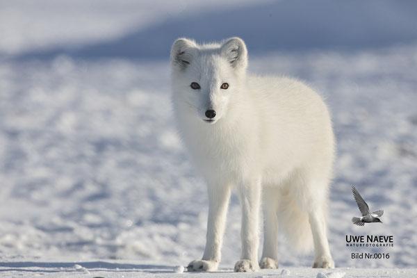 Polarfuchs,Eisfuchs,Arctic Foxes,Alopex lagopus,Vulpex lagopus 0016