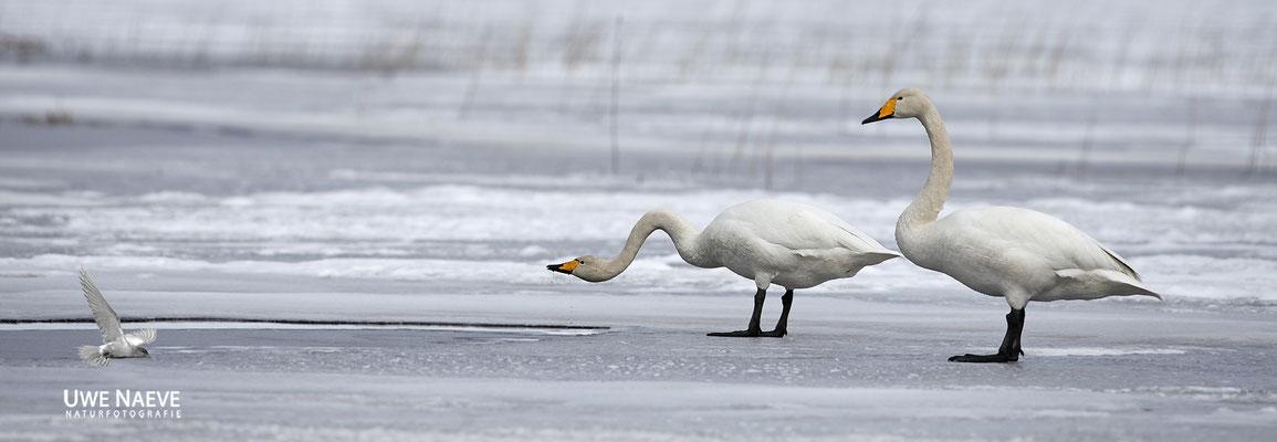 Singschwan,Whooper Swan,Cygnus cygnus 0015