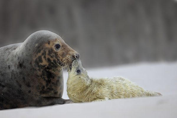Kegelrobbe,Grey Seal,Halichoerus grypus 0163