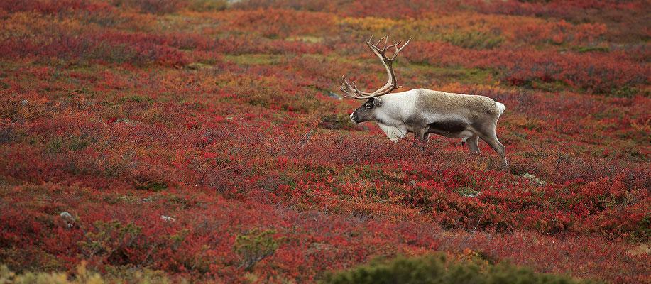 Ren Rentier Rangifer tarandus Reindeer 0125