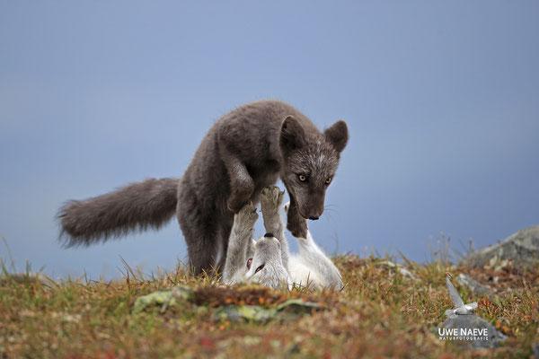 Polarfuchs,Eisfuchs,Arctic Foxes,Alopex lagopus,Vulpex lagopus 0105