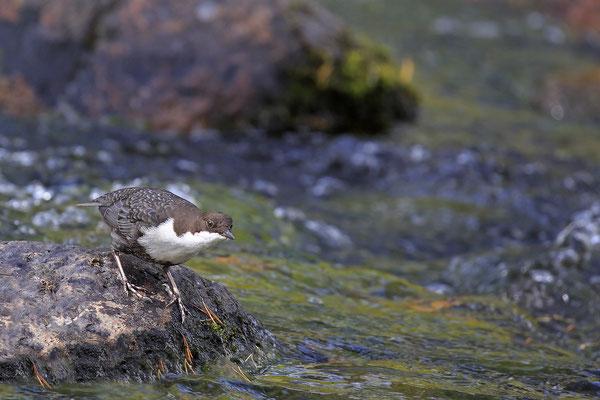 Wasseramsel,Cinclus cinclus,Water-blackbird 0014