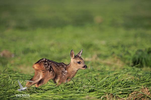 Rehkitz,Roe Deer fawn,Capreolus capreolus 0105