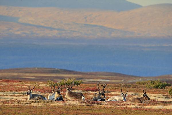 Ren Rentier Rangifer tarandus Reindeer 0120