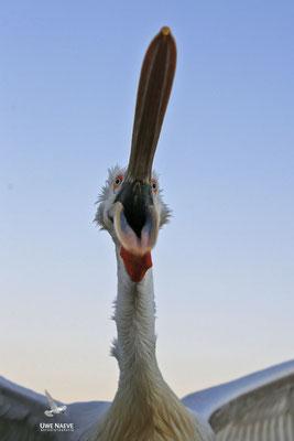 Krauskopfpelikan,Dalmatien pelican,pelecanus crispus 0054