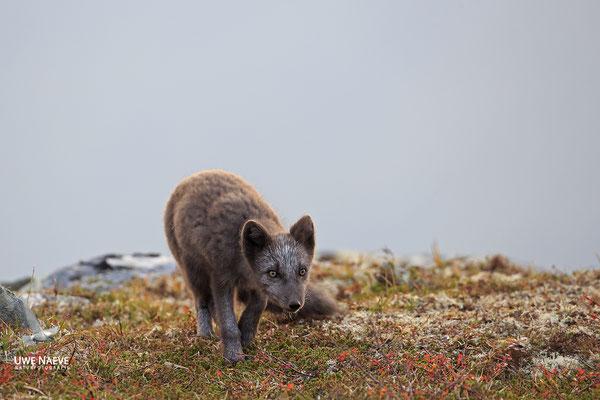 Polarfuchs,Eisfuchs,Arctic Foxes,Alopex lagopus,Vulpex lagopus 0074