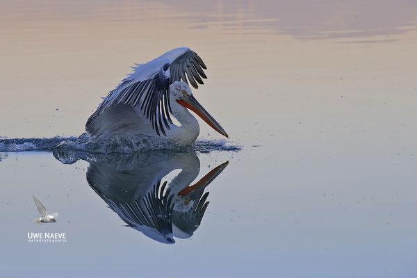 Krauskopfpelikan,Dalmatien pelican,pelecanus crispus 0099