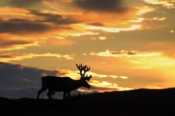 Ren Rentier Rangifer tarandus Reindeer 0127