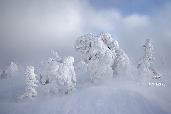 Harz, Brocken,Fichtenwald im Winter 8881