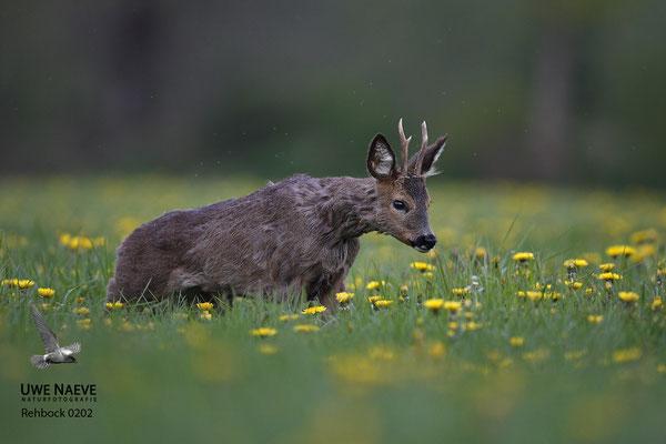 Rehbock Capreolus capreolus Roe Deer buck 0202