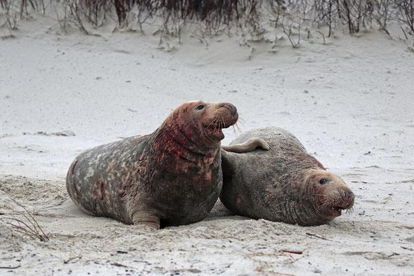 Kegelrobbe,Grey Seal,Halichoerus grypus 0111