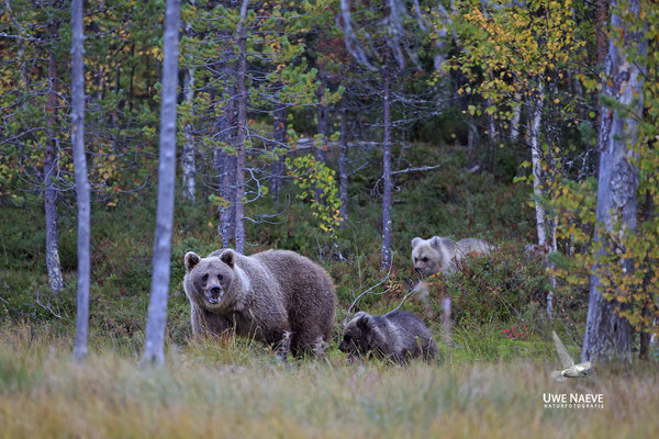 Braunbaer Ursus arctos brown bear 0064