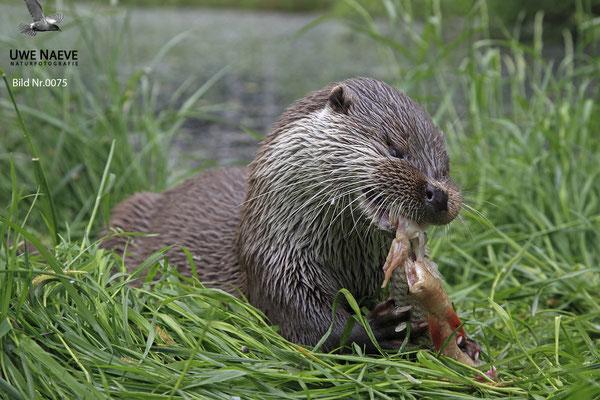 Fischotter,Otter,Lutra lutra 0075