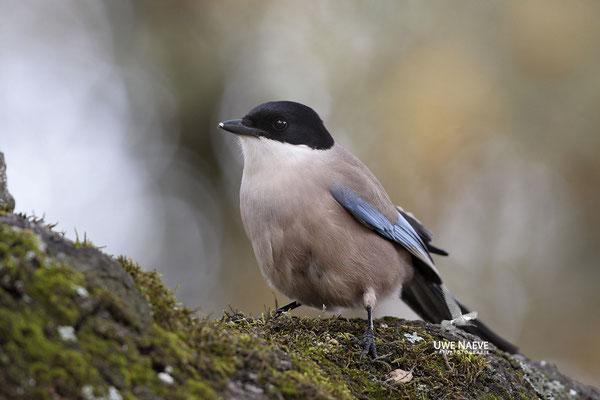 Blauelster,Cyanopica cyana,Azur winged Magpie 0009