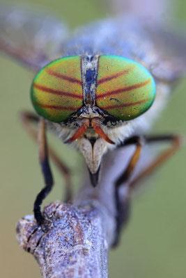 Fliege-Rinderbremse Hybomitra aterrima 0001