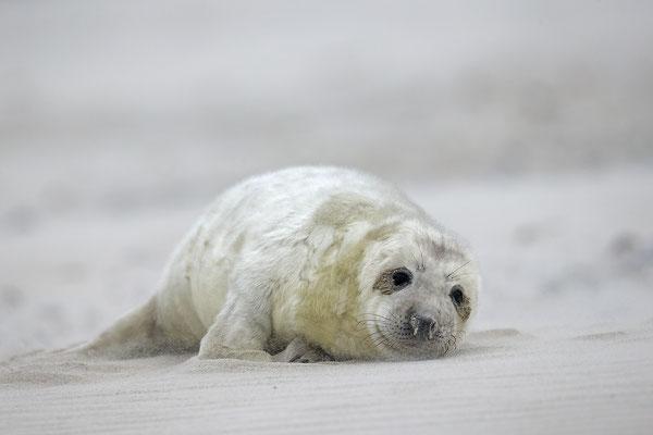 Kegelrobbe,Grey Seal,Halichoerus grypus 0157