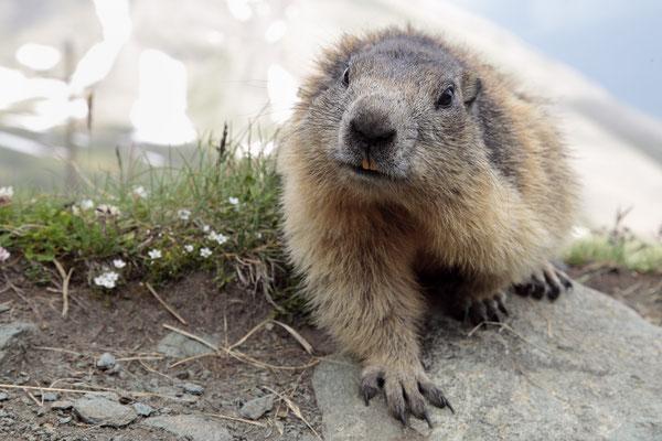 Alpenmurmeltier,Marmota,Marmot 0072