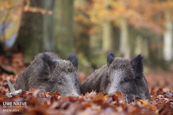 Wildschweinbache,Wild Boar sow,Sus scrofa 0034