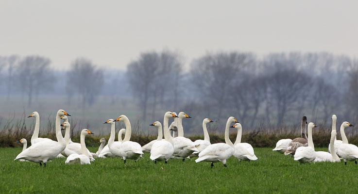 Singschwan,Whooper Swan,Cygnus cygnus 0018