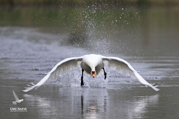 Hoeckerschwan,Mute Swan,Cygnus olor 0053