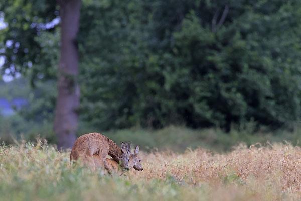 Rehbock,Capreolus capreolus,Roe Deer buck 0271