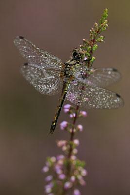 Schwarze Heidelibelle Weibchen Sympetrum danae 0024