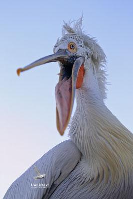 Krauskopfpelikan,Dalmatien pelican,pelecanus crispus 0056