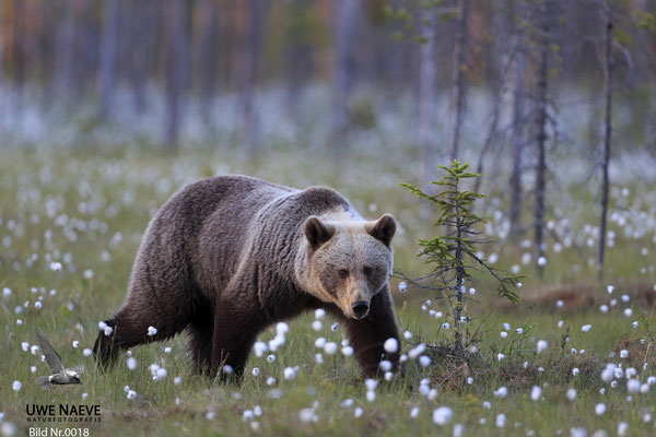 Braunbaer Ursus arctos brown bear 0018