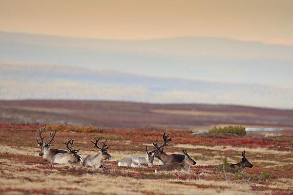 Ren Rentier Rangifer tarandus Reindeer 0119