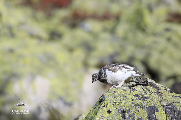 Alpenschneehuhn,Lagopus muta,Ptarmigan 0003