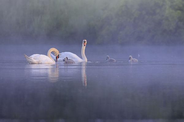 Hoeckerschwan,Mute Swan,Cygnus olor 0066