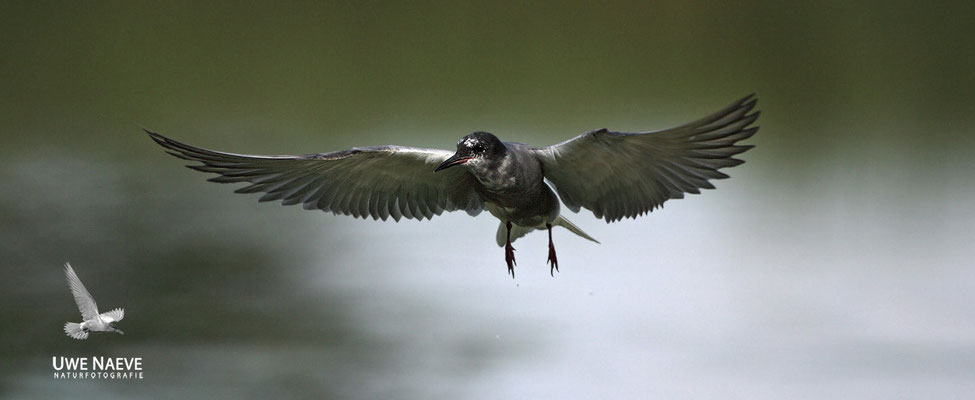 Trauerseeschwalbe,Black Tern,Chlidonias niger 0023
